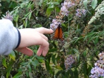 Butterfly Garden at the center was hosting a few Monarchs on their way south